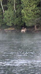 Deer having a drink
