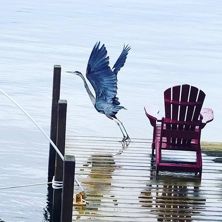 Amazing blue heron on Lake George! (: @beckbederian)⠀ ⠀ #lakegeorge #lakegeorgeny #lakelife #lake #instadaily…